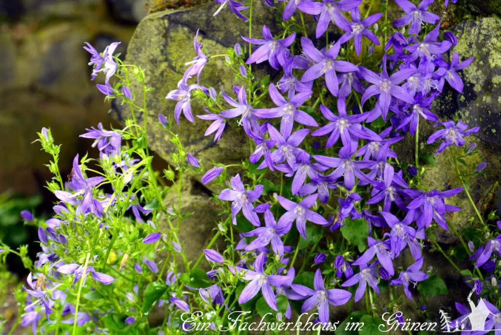 Die Blüten der Polsterglockenblume.
