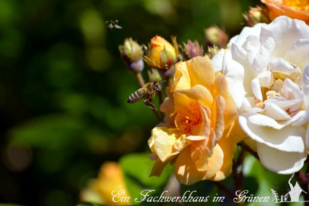 Robuste Rosen in unserem Garten.
