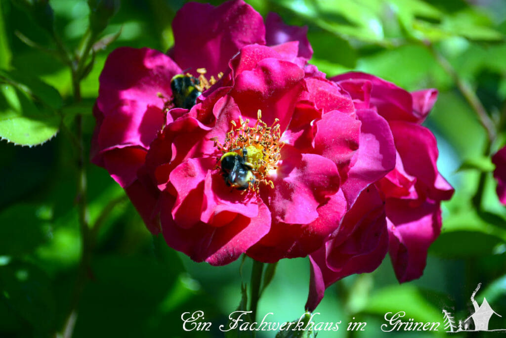 Auch Insekten mögen Rosen.