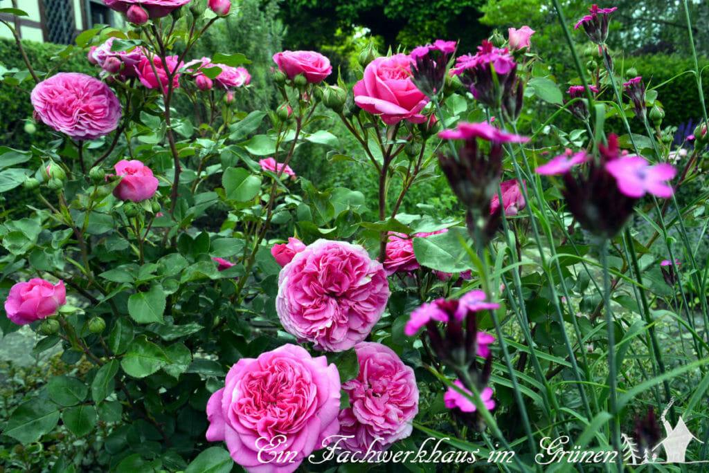 Der Rosengarten im Juni
