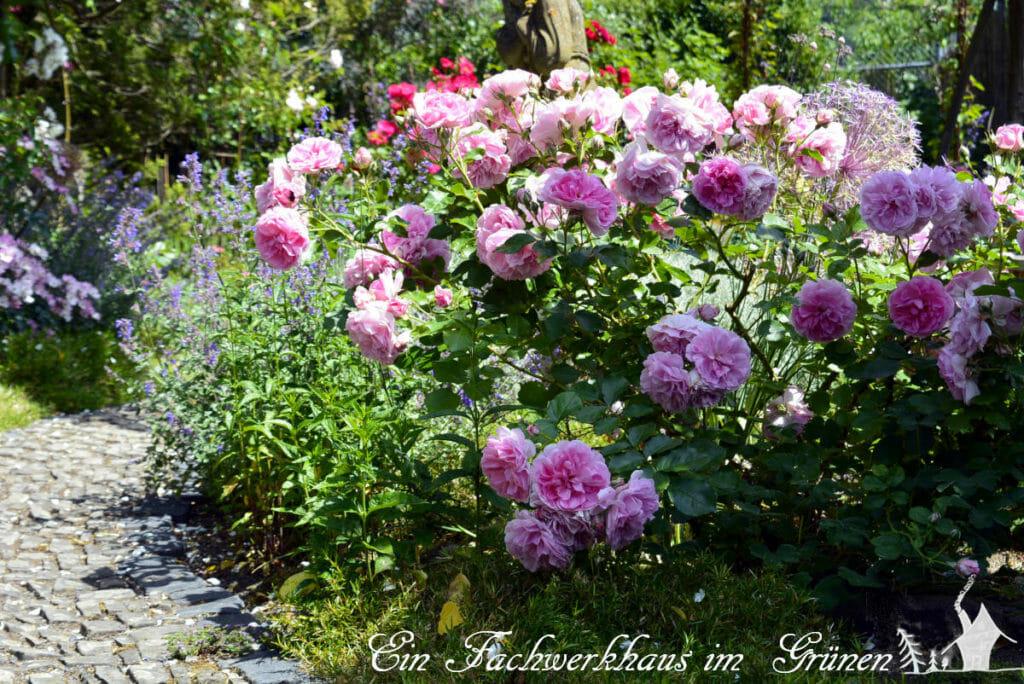 Königinnen, die sich im Juni in ihrer vollen Pracht im Rosengarten zeigen.