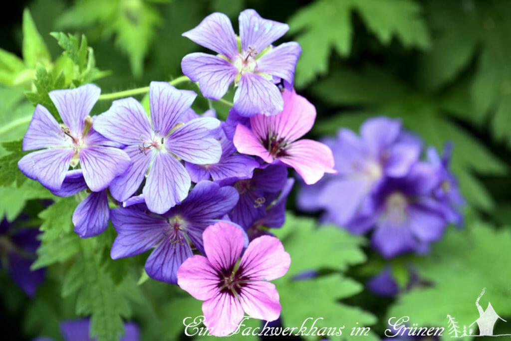 Die Blüten des Storchschnabels gieren nicht mit Farben.