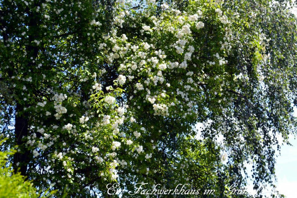 Die Bobbie James überragt den Rosengarten im Juni