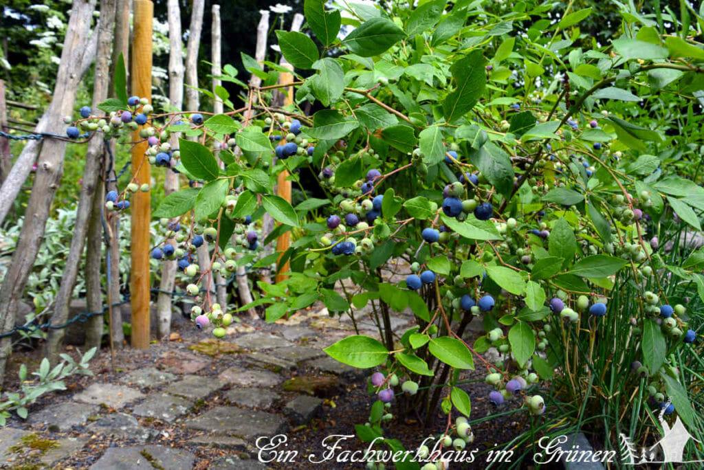 Blaubeeren in unserem Garten.