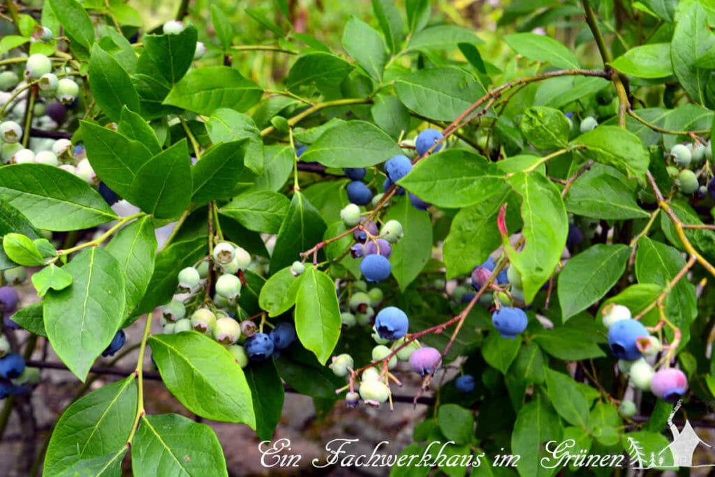 Die Früchte der Heidelbeere werden nicht alle auf einmal reif.