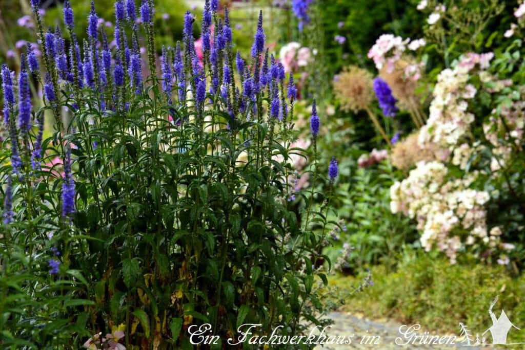 Die Blauriesin wächst am Wegesrand im Rosengarten