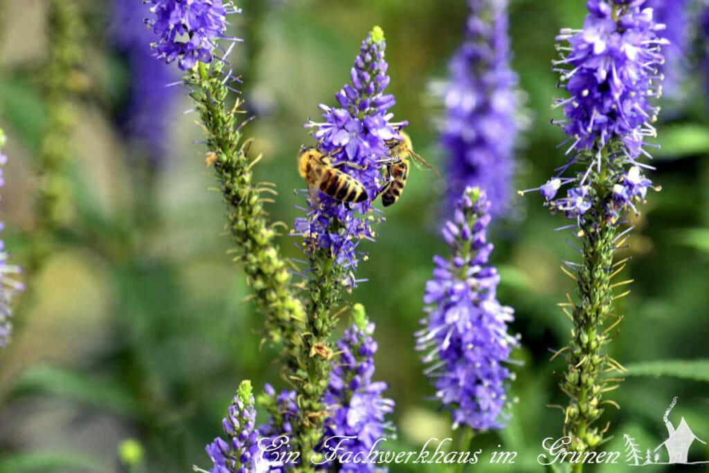 Der Ehrenpreis ist ein Bienen- und Hummelmagnet.
