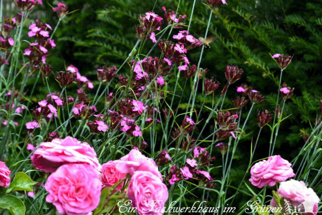 Die Kartäusernelke als Begleiterin der Rosen