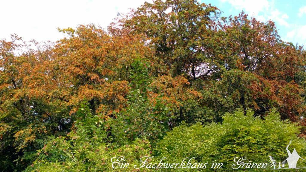 Die Bäume nehmen mitten im Sommer eine Herbstfärbung an.