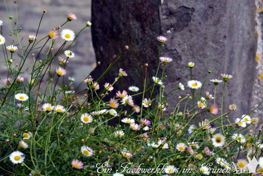 Das spanische Gänseblümchen in unserem Garten.
