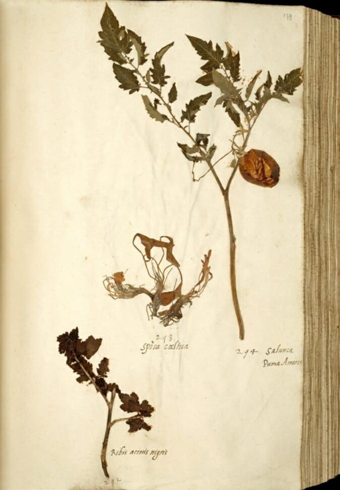 Tomate von 1542 - 1544