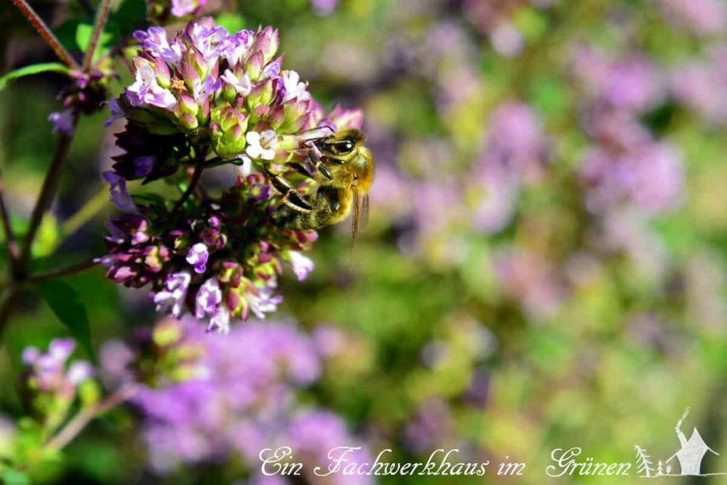 Die Bienen besuchen den Oregano sehr gerne.