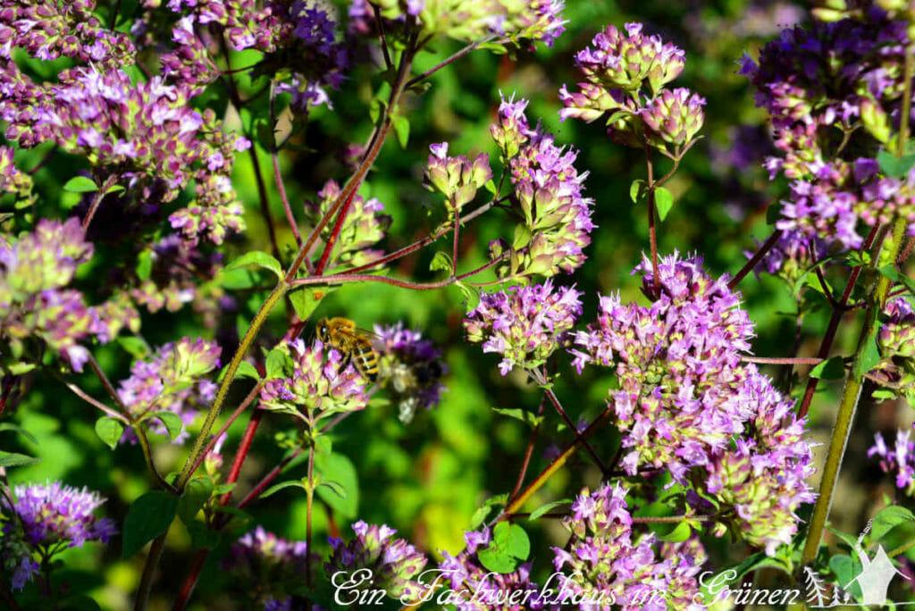 Bienen, Hummeln, Schmetterlinge und andere Insekten mögen Oregano.
