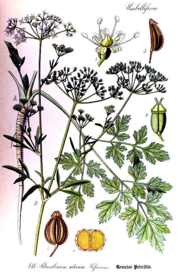 """""""Flora von Deutschland, Österreich und der Schweiz Band 3, 2. Auflage Otto Wilhelm Thomé 1905"""""""