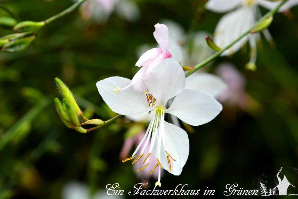 Die Blüte der Prachtkerze.