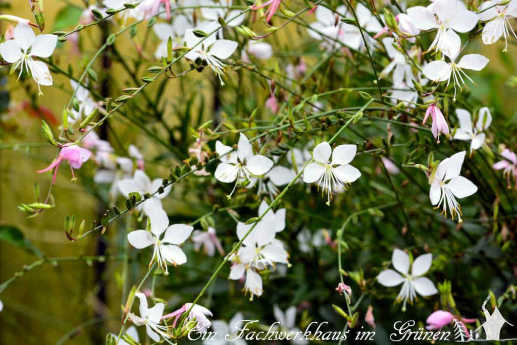 Die Prachtkerze überzeugt mit ihren filigranen Blüten.