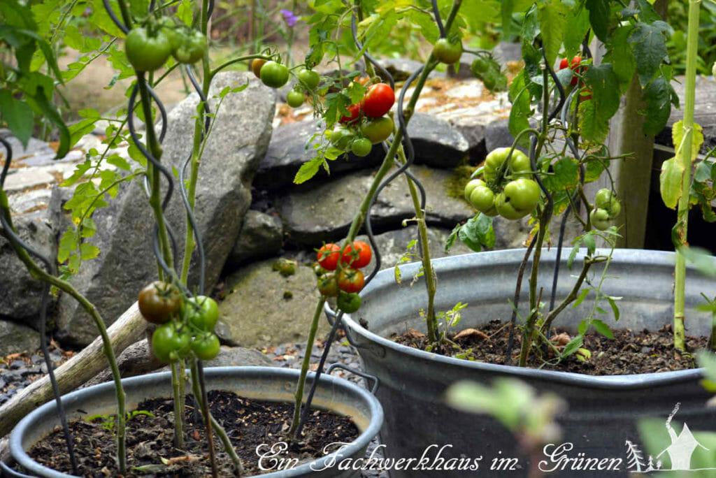 Die Tomaten wachsen bei uns in alten Zinkwannen.