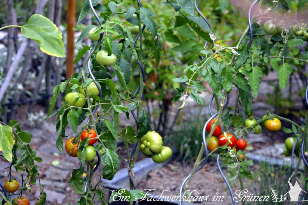 Tomatenpflanzen in unserem Garten.