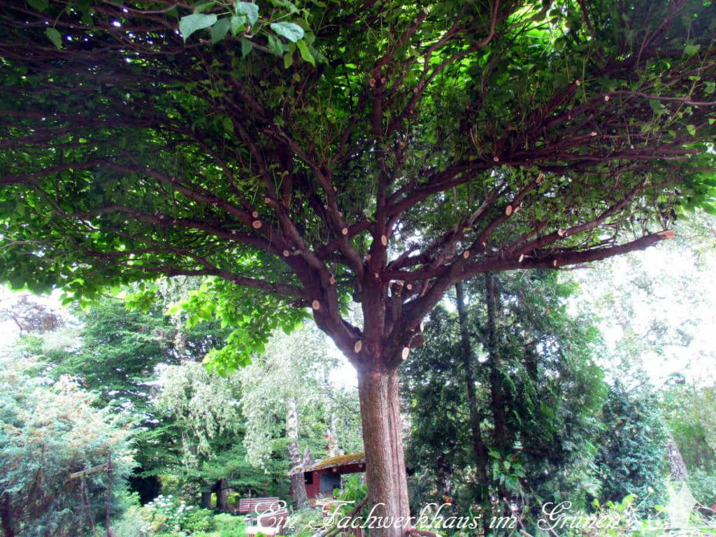 Der Trompetenbaum nach dem Schnitt.