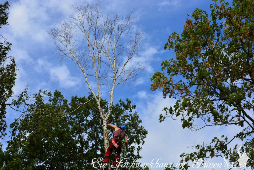 Wunschdenken Birke. Schließlich musste der Baum doch gefällt werden.
