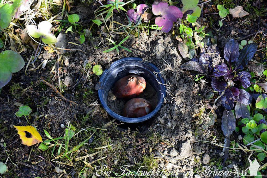 Blumenzwiebel so pflanzen, dass Wühlmäuse keine Chance haben.