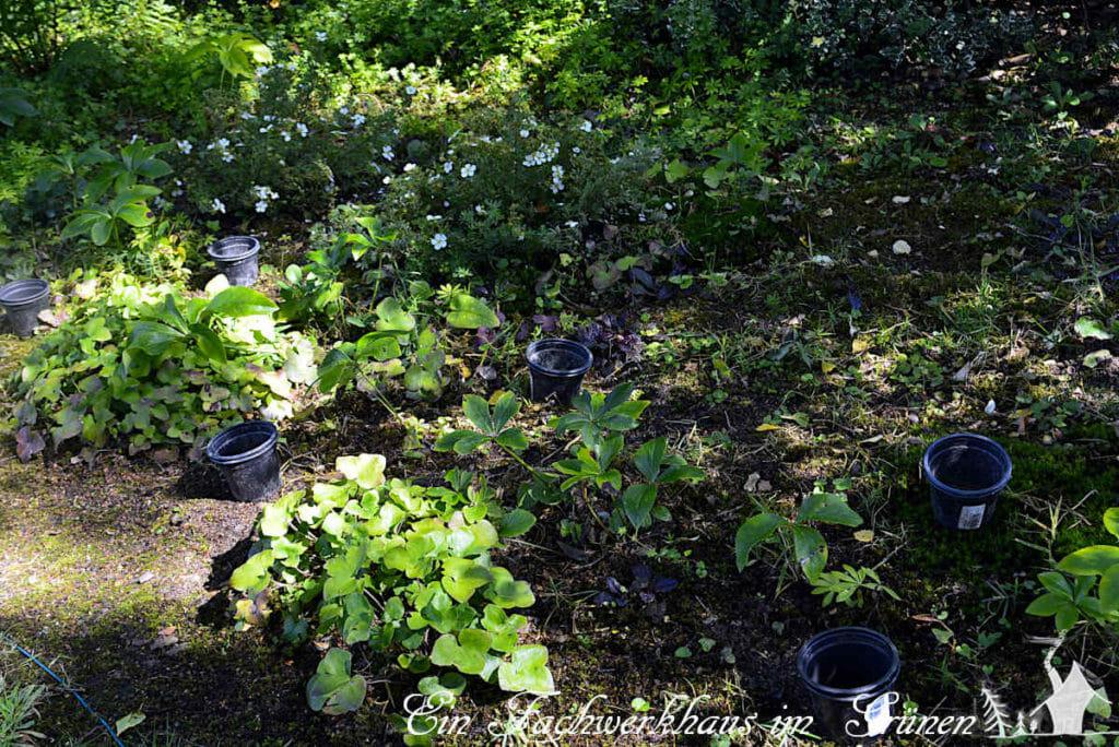 Blumenzwiebel so pflanzen, dass Wühlmäuse keine Chance haben. Wir nehmen dafür alte Plastiktöpfe.
