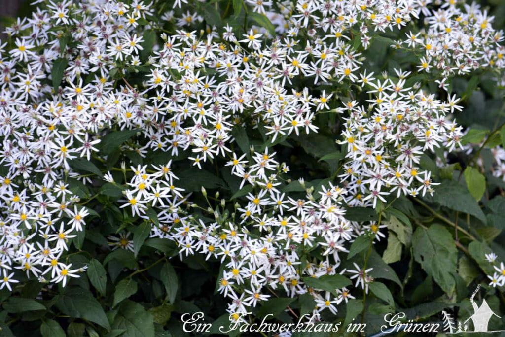Die Wild Aster Aster ageratoides 'Ashvi' überzeugt im Herbst mit ihren vielen Blüten.