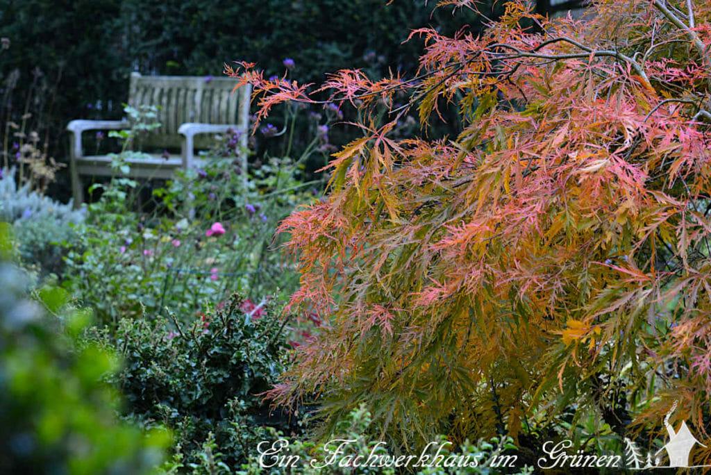 Die Blätter des Zierahorns sind im Herbst besonders schön.