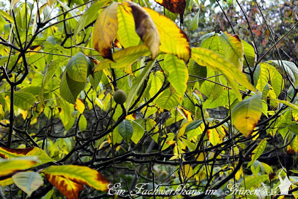 Die Blätter der Zierkastanie 'Aesculus parviflora' färben sich im Herbst gelb.