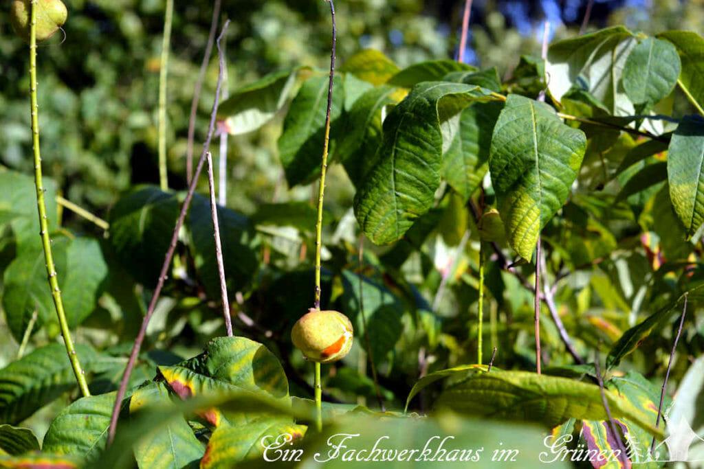 Die Frucht der Strauchkastanie.