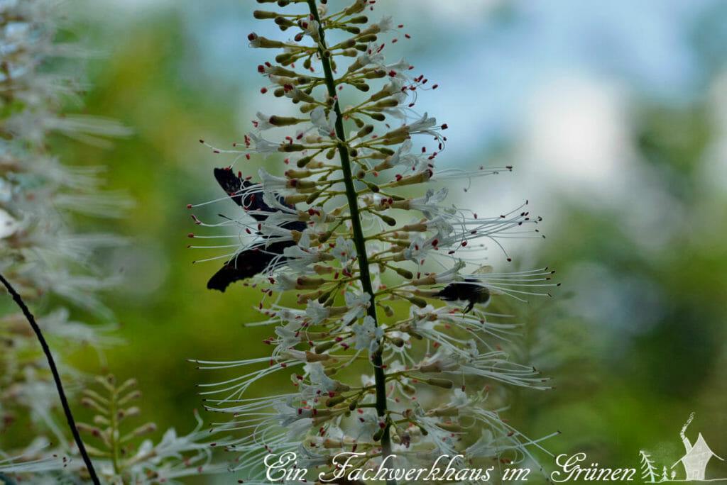Insekten mögen die Blüten der Strauchkastanie
