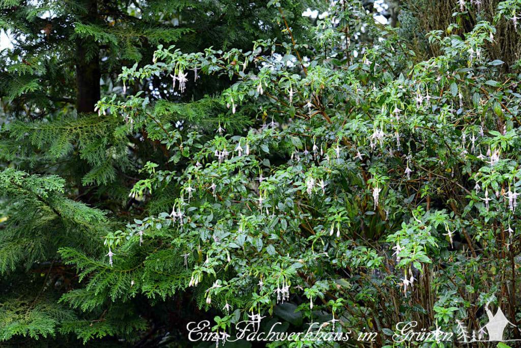 Die winterharte Fuchsie  'Hawkshead' in unserem Garten