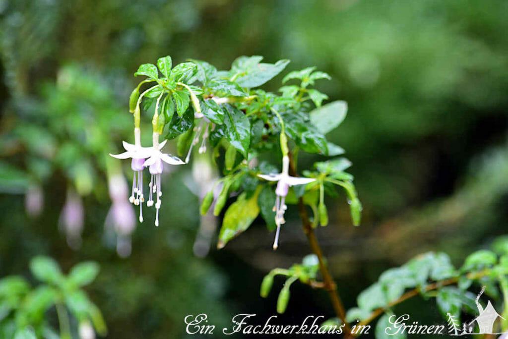 Die Blüten der winterharten Fuchsie 'Hawkshead'