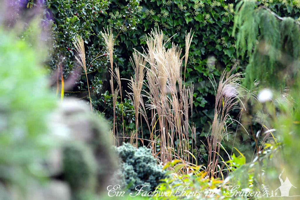 Ziergräser im Herbstgarten runden bilden schöne Kontraste.