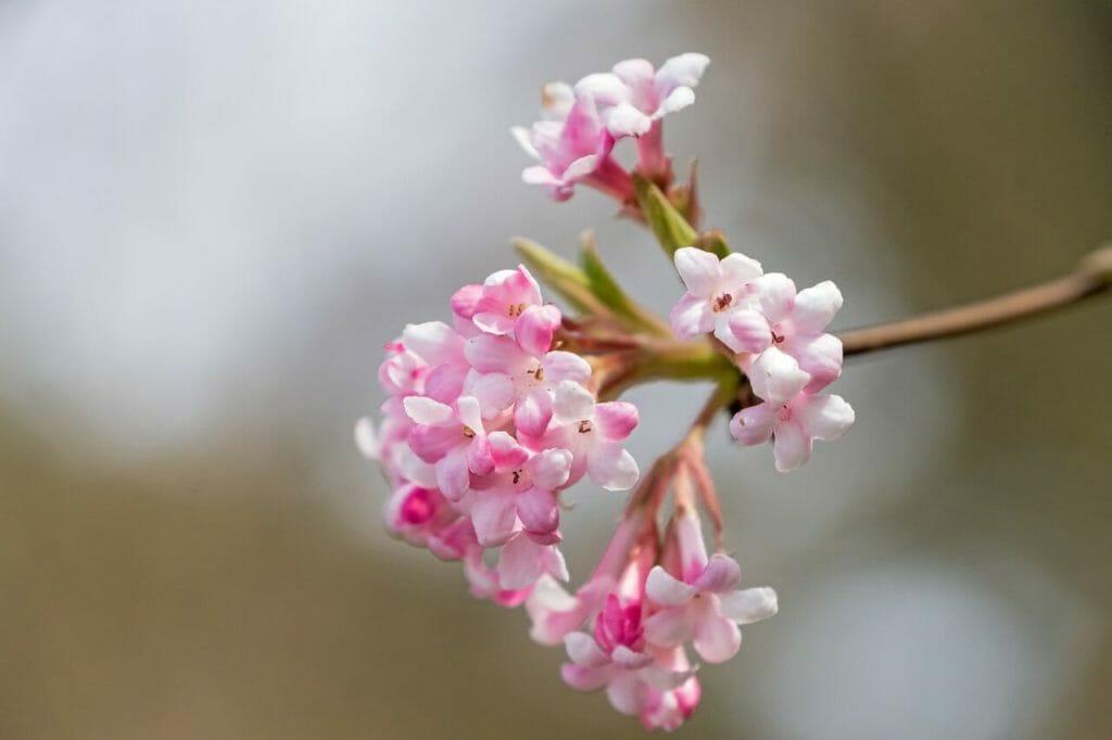 Mit seinen wundervollen Blüten verzaubert der Winterschneeball den Garten auch in der kalten Jahreszeit.