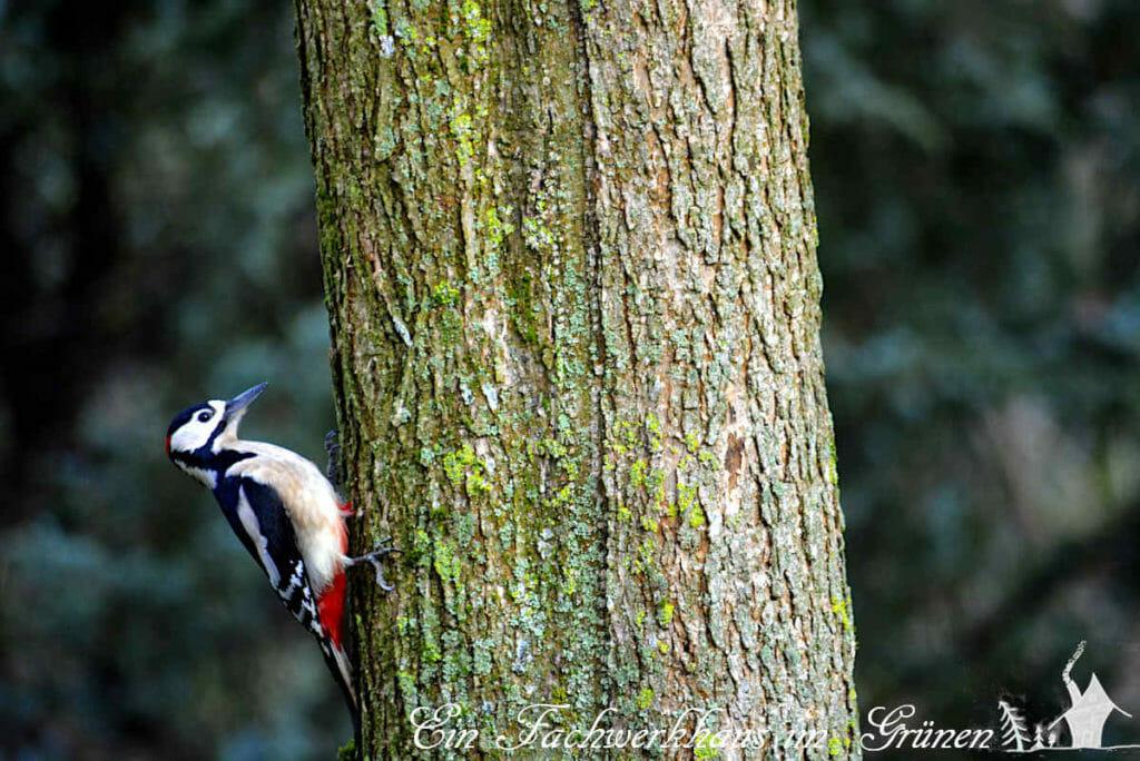 Ein Buntspecht am Trompetenbaum