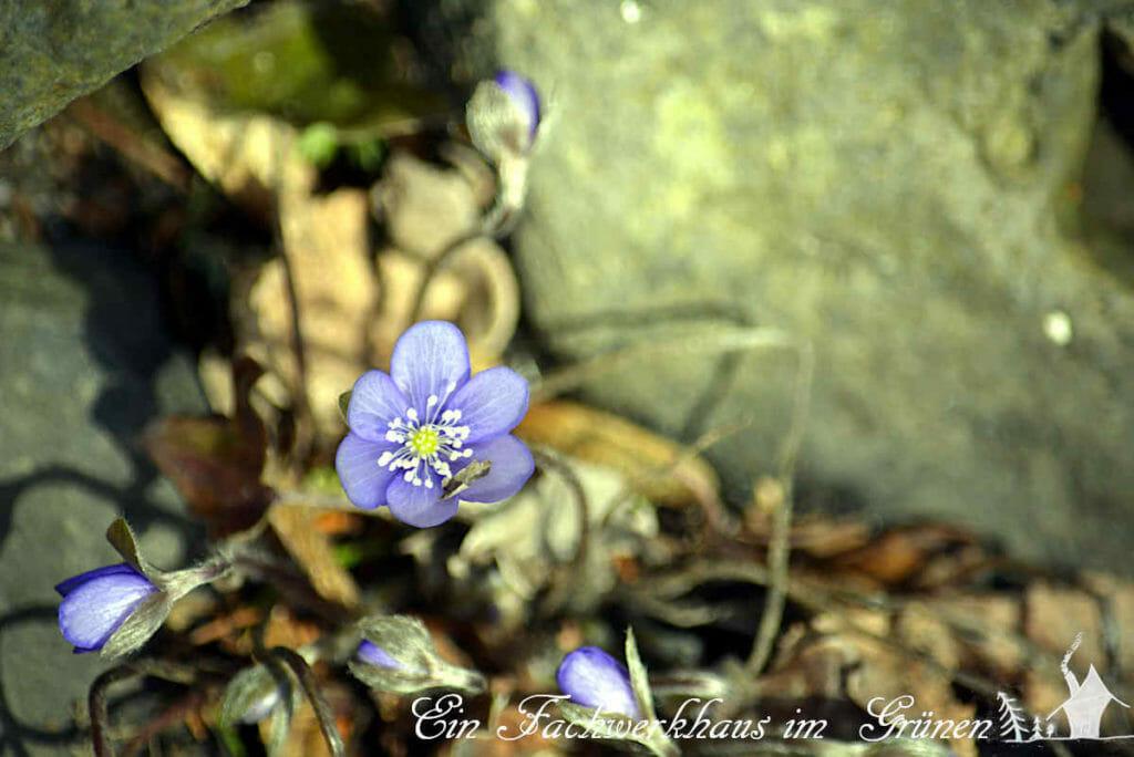 Die Blüte des Leberblümchens