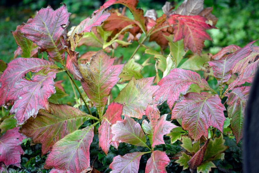 Das Schaublatt zeigt bei Wassermangel schon im Sommer seine Herbstfärbung