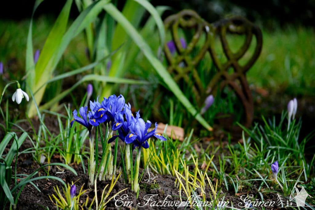 Die Zwergiris in unserem Garten