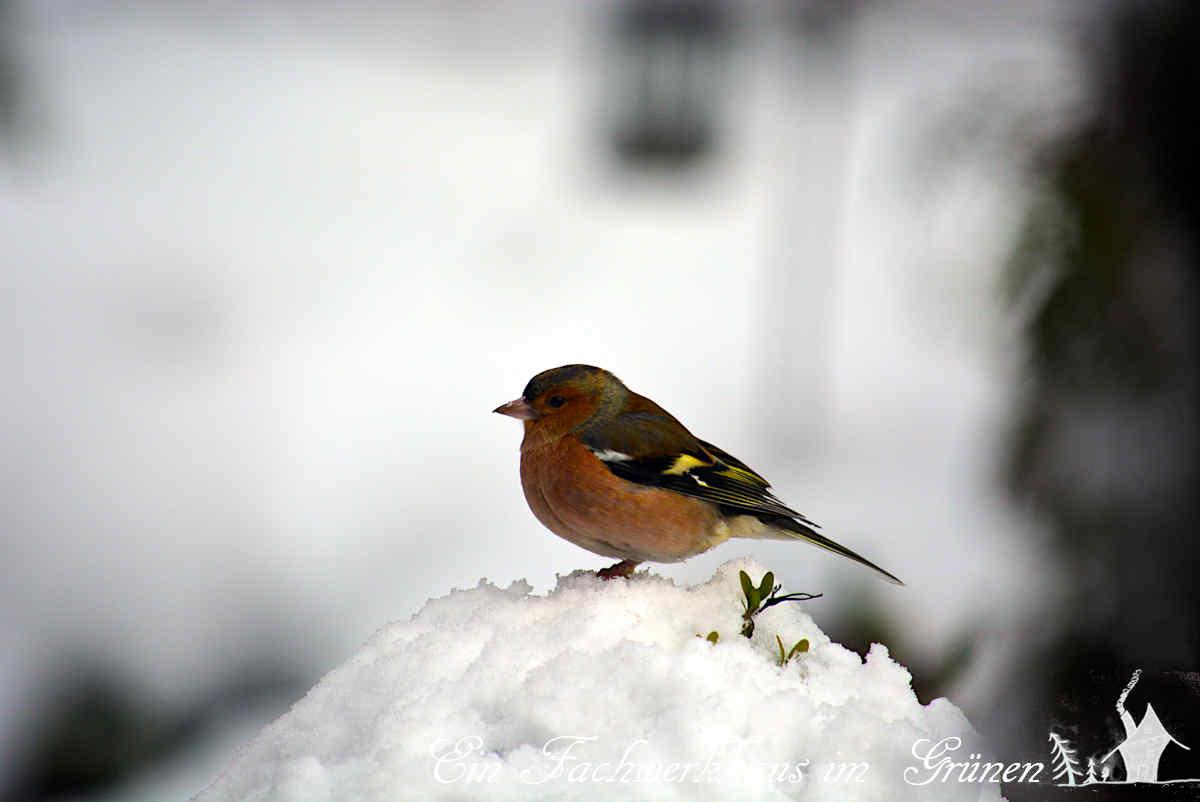 Buchfinken im Schnee Fringilla coelebs