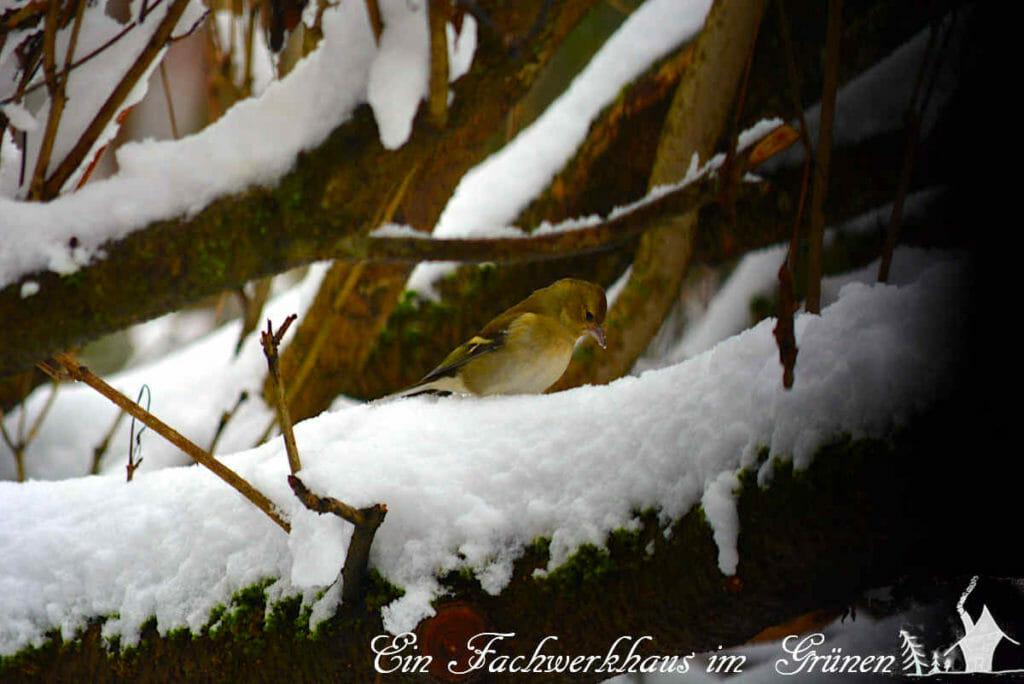 Ein Buchfink auf den Ästen unseres Hausbaums.