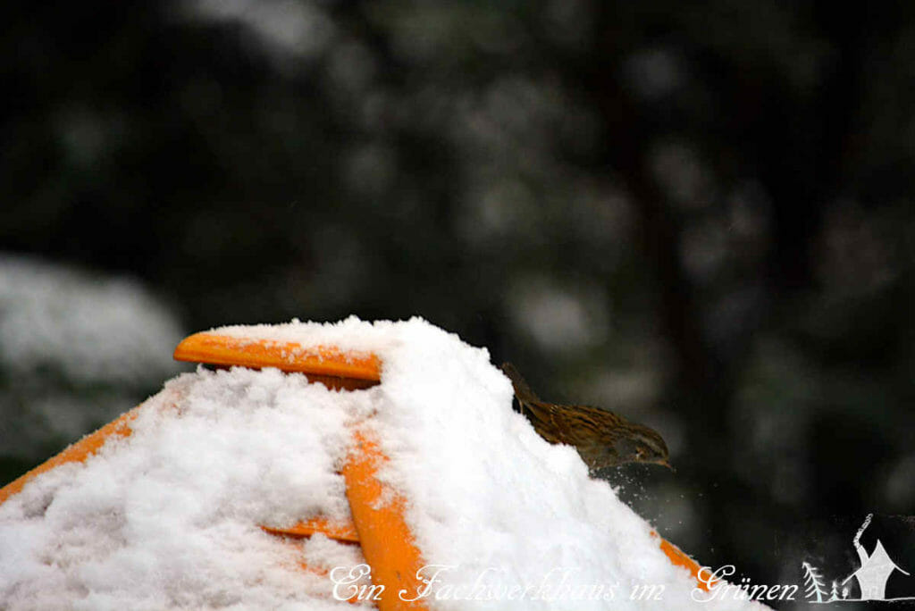 Dieser Spatz nimmt an der Vierschanzentournee im Garten teil. Die Vögel müssen sich beeilen, der Schnee ist schnell wieder weg und Schneekanonen haben die Vögel noch nicht erfunden.