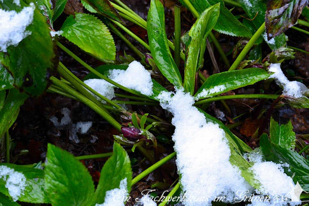 Der Garten im Februar 2021. Die Christrose kämpft noch mit den letzten Schneeresten.