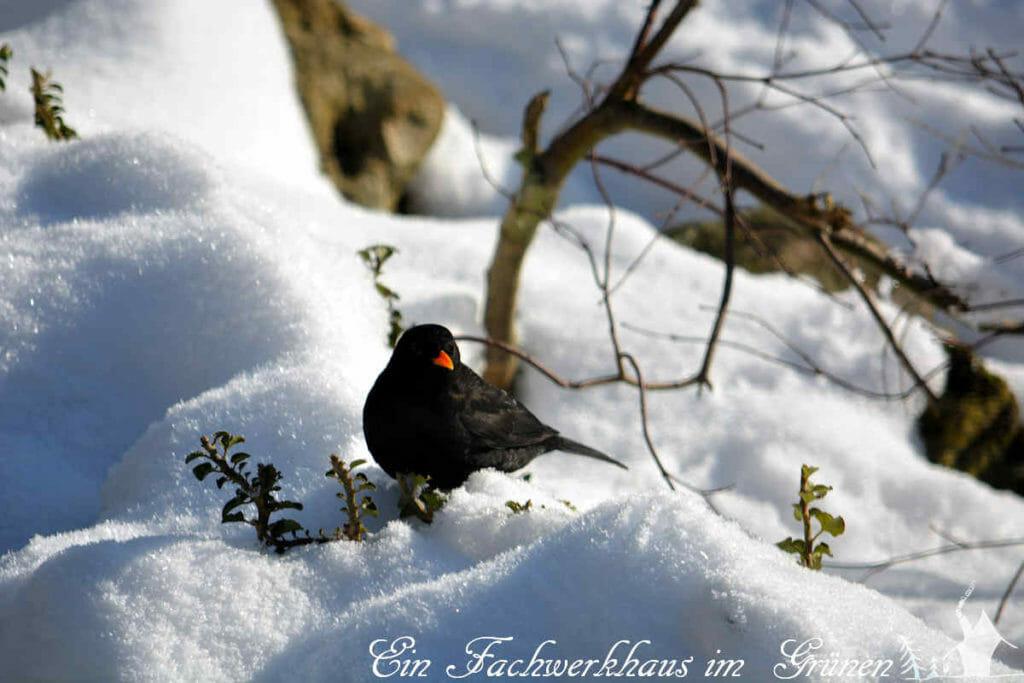 Eine Amsel im Schnee.