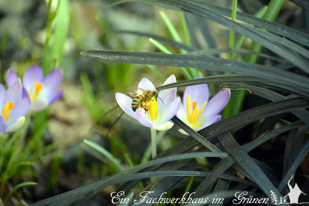 Im Vorfrühling machen Bienen sich über Krokusse her.