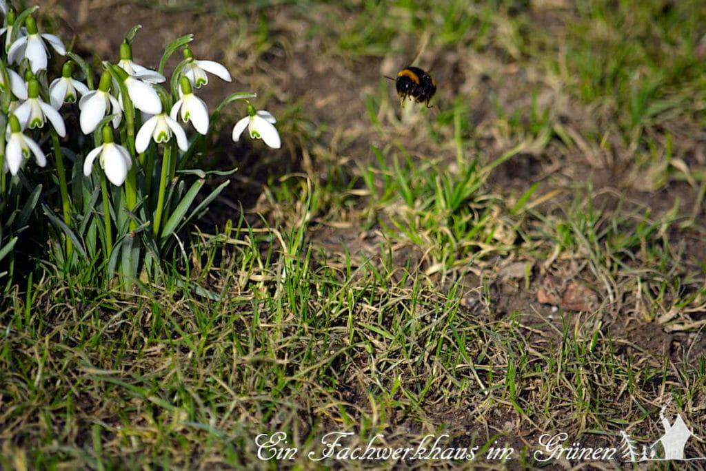 Auch das Schneeglöckchen blüht schon im Vorfrühling.