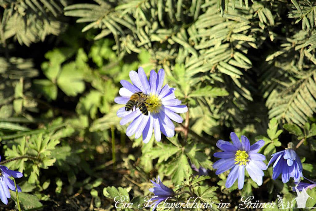 Zwei Bienen streiten sich um eine Blüte. So sieht der Frühling in unserem Garen aus.