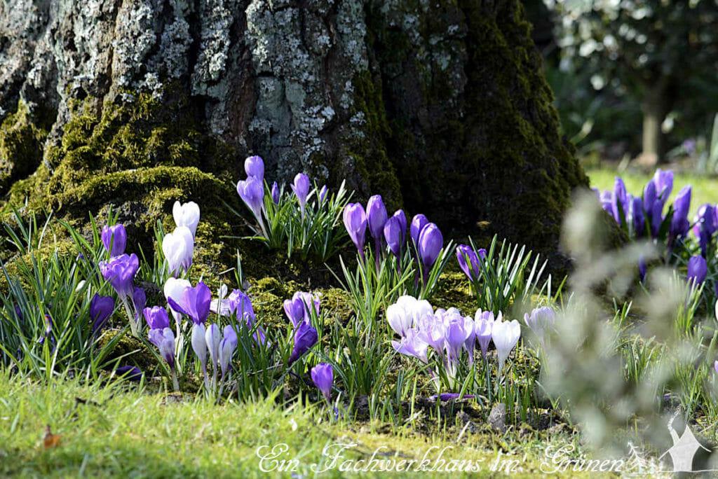 An ein paar Stellen blühen die Krokusse noch. So sieht der Frühling in unserem Garen aus.