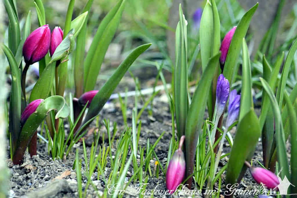 Die wilde Tulpe Pulchella Violacea zeigt schon Anfang März ihre Blüten
