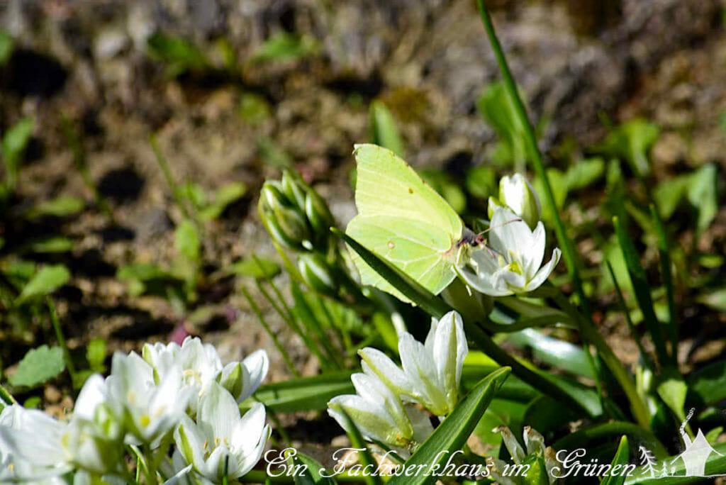 Milchsterne (Ornithogalum) gehören zu den Frühblühern, die aber wirklich erst im Frühling blühen und nicht schon im Vorfrühling.